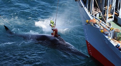 sea shepard paul watson takes a bullet saving a whale