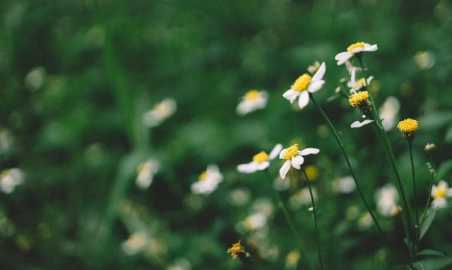 Flower Chamomile Plant