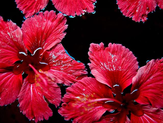 Red flowers floating on the water