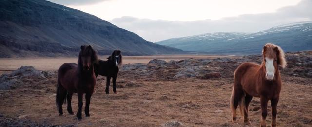 Three ponies standing in the wild countryside in Iceland