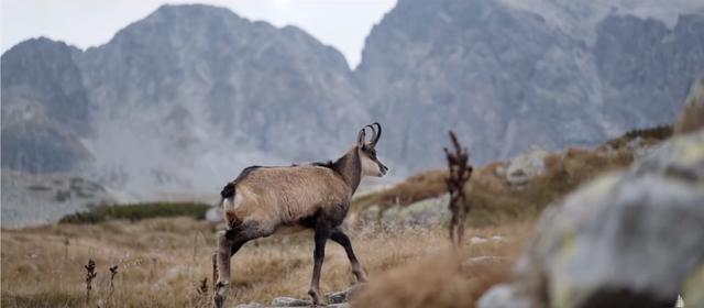 The mountain goats in High Tatras