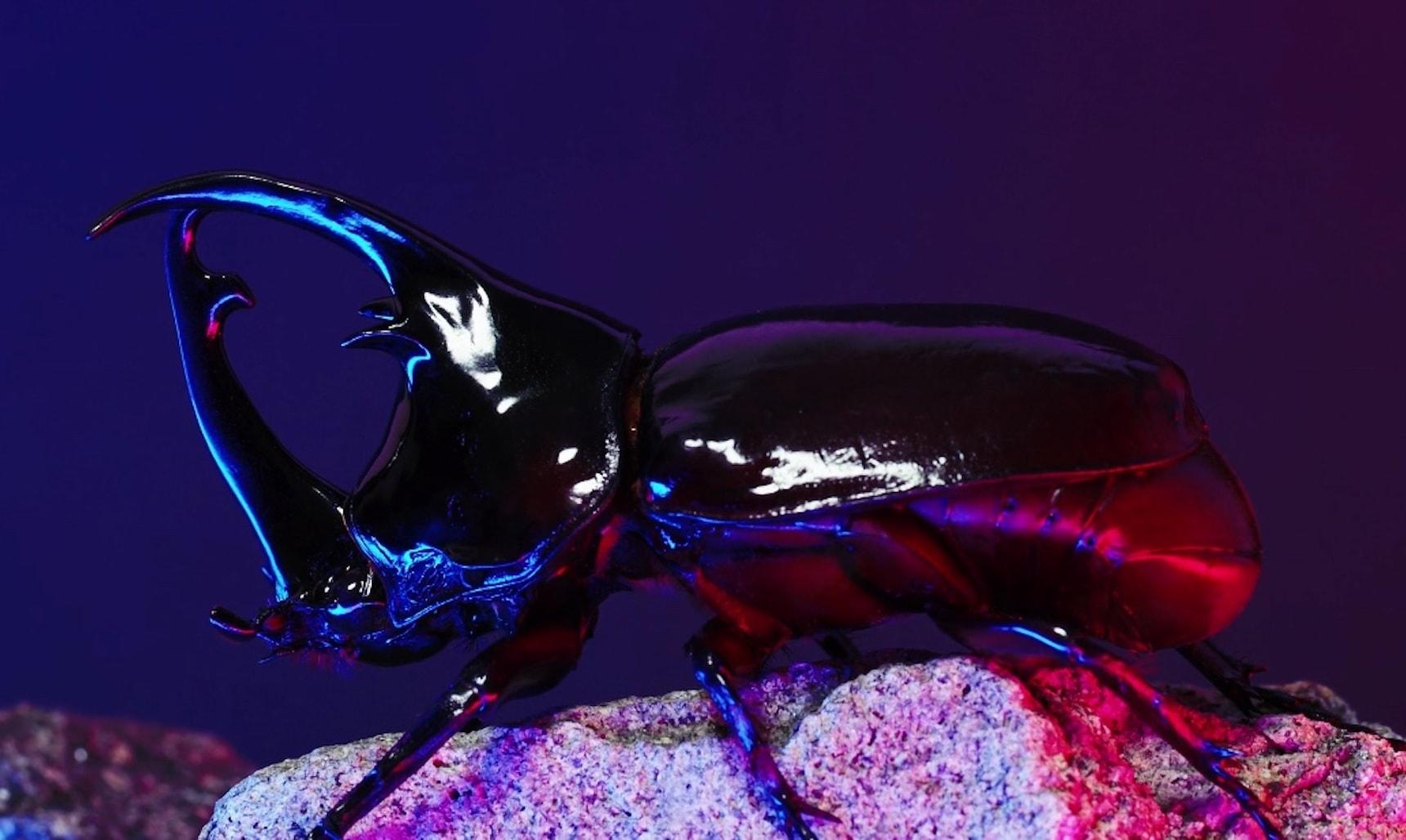 Stag-beetle in front of dark violet background