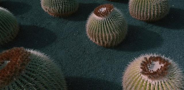 Cacti plant on volcanic sand at Lanzarote, Spain