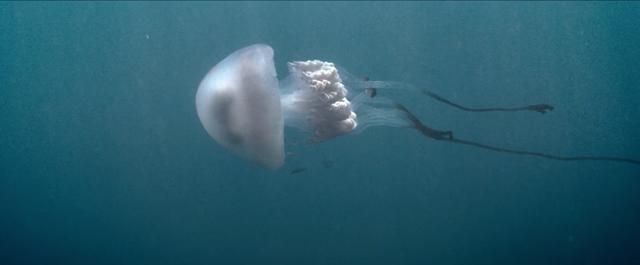 Medusa swimming in the sea